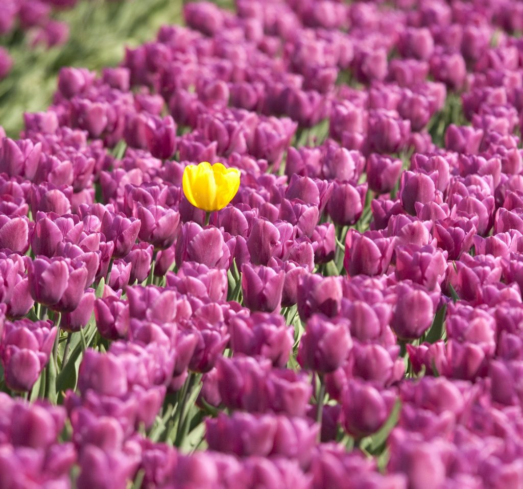 The Brand of You, Unique yellow flower in Flower bed with purple tulips